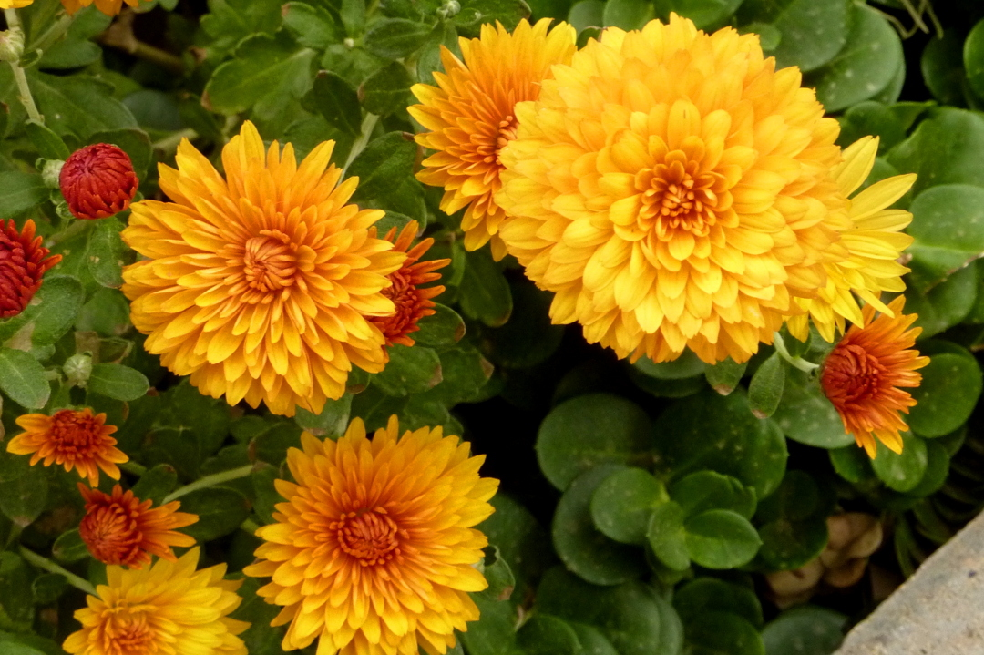 Chrysanthemums along the sidewalk in full bloom.