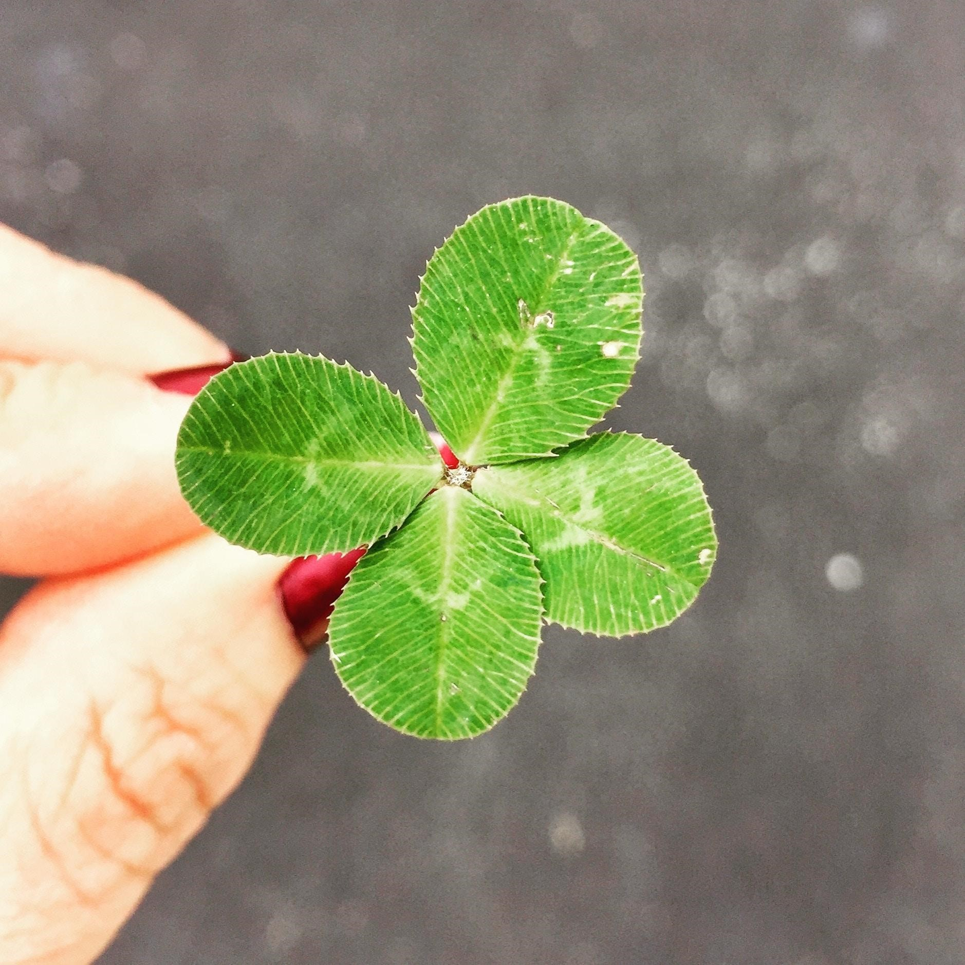 A beutiful green 4 leaf clover - image from https://unsplash.com/photos/49ZXvCLerUo