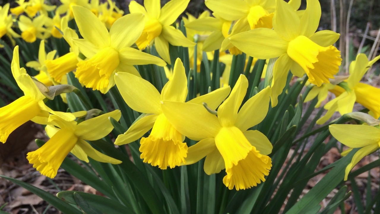 Bright yellow daffodils flowering in a decorative garden setting.